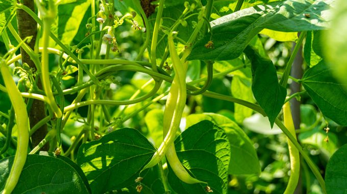 hydroponic beans