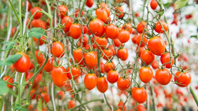 How To Regrow Tomatoes From Tomatoes In 2020! (Step-by-Step Guide)