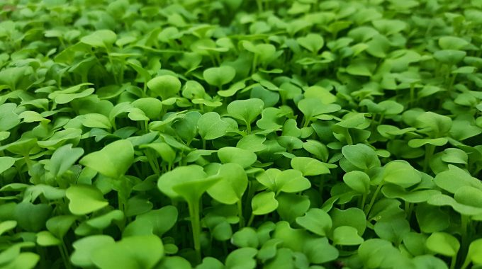 How To Grow Microgreens Using Hydroponics