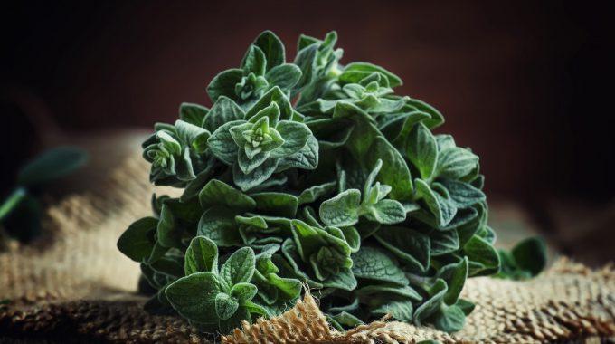 Oregano Herbs